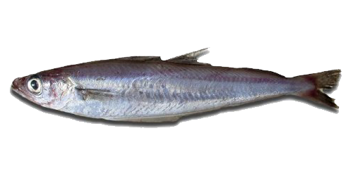 BLUE WHITING (Northern)