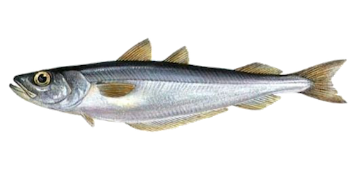 Southern Blue Whiting