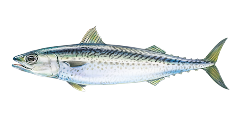 Atlantic Chub Mackerel