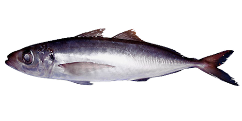 Blue Jack Mackerel