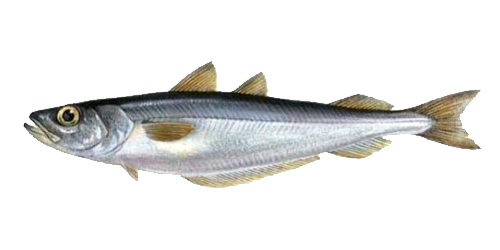 BLUE WHITING (Southern)
