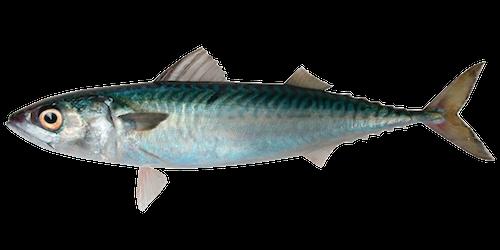 Blue Mackerel