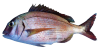 Common-Seabream.png