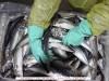 New-Sea-ApS---Chile---Jack-Mackerel-300-500-gr.-Fresh-1.jpg