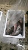 New-Sea-ApS---Senegal---Mycteroperca-rubra-1.jpg