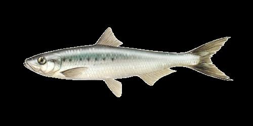 Pacific Sardine