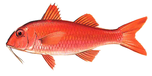 West African Goatfish