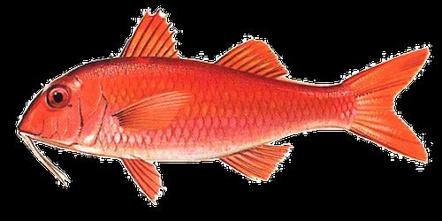 West African Goatfish