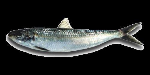 Sardinella Aurita