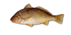 White-Croaker.png