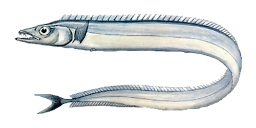 Ribbonfish (Hook)