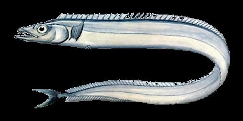 Ribbonfish (Tail off)